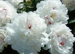 """Peônia – a flor """"oficial"""" daChina"""