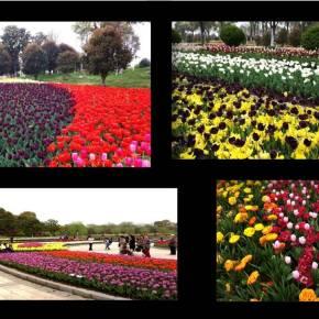 Pessegueiros em flor e Parque daTulipas