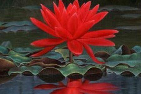 Flor-de-lótus-cor-vermelha