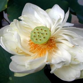 A flor de lótus na culturachinesa