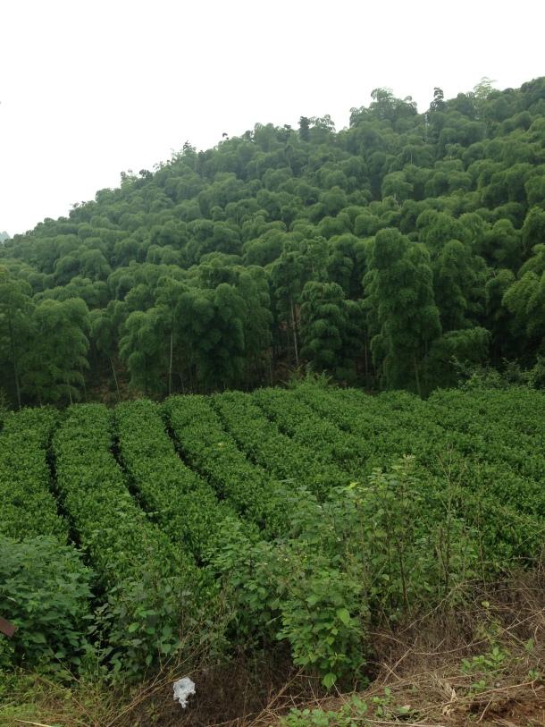 Plantação de chá em Moganshan.