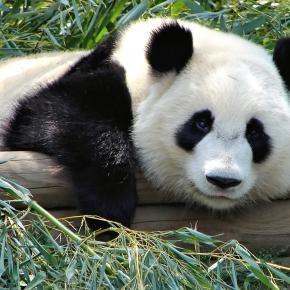 Pandas – 10 fatos sobreeles.