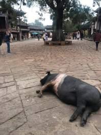 O porco descansando
